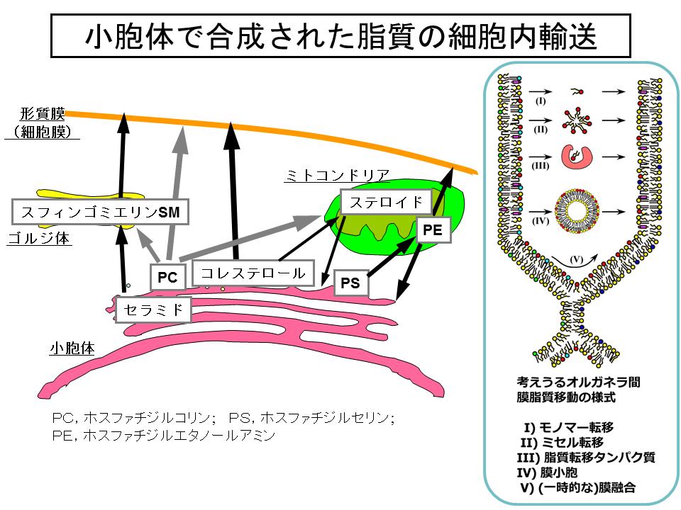 III.哺乳動物細胞におけるセラミド輸送に関する研究