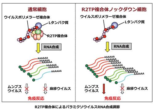 R2TP複合体はパラミクソウイルスのRNA合成を制御する